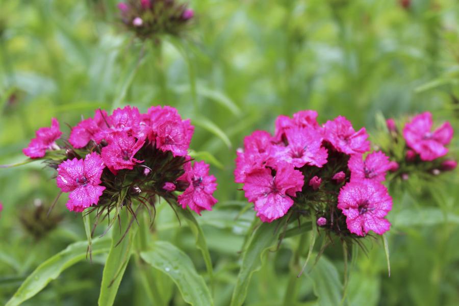 Hårdføre flerårige urter